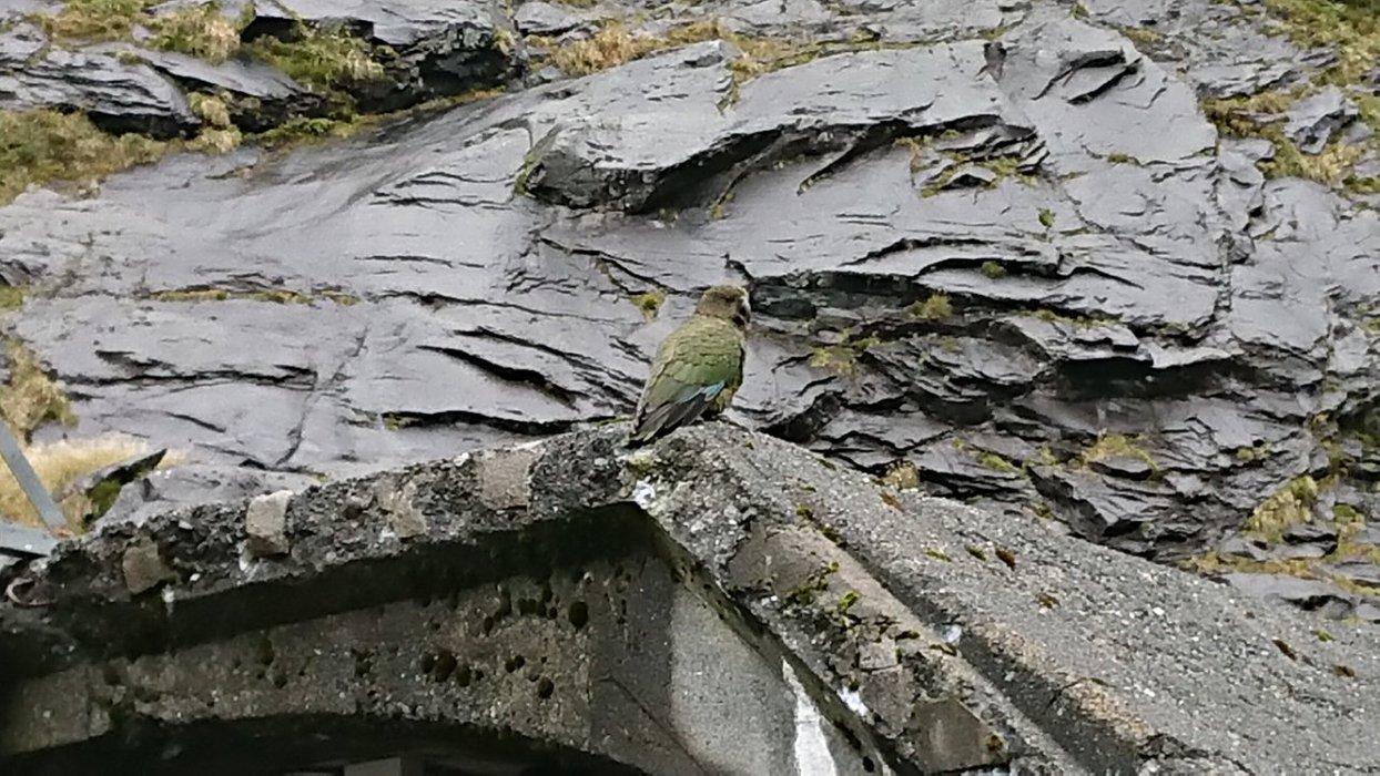 Kevin the Kakapo Parrot!