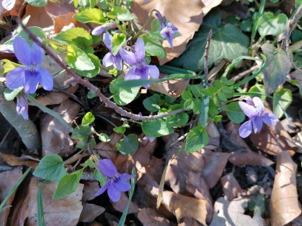 Veilchen im Blätterbett