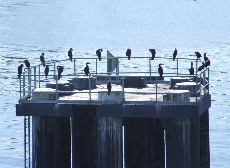cormorants01.jpg
