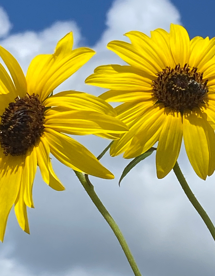 Sunflowers and clouds.PNG