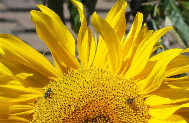 0336-BeeSunflower.JPG