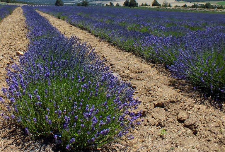 0201-Lavender.jpg