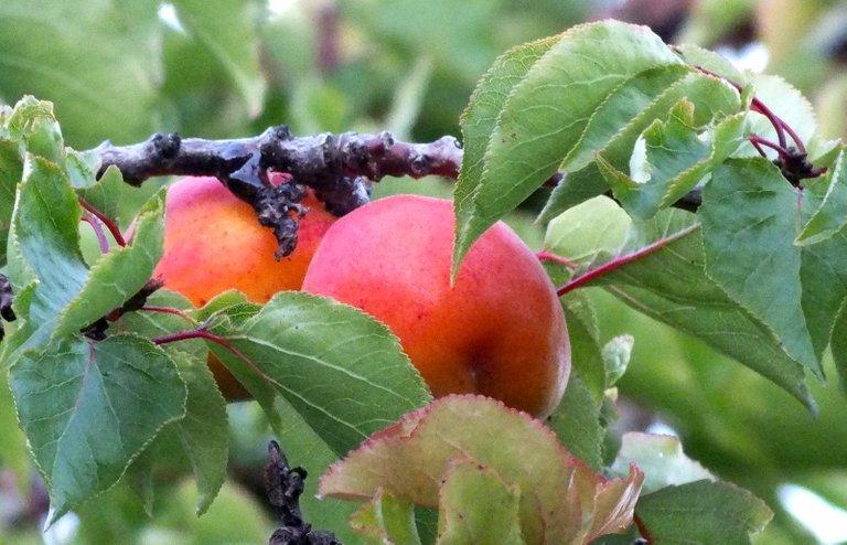 0085-Apricots.jpg