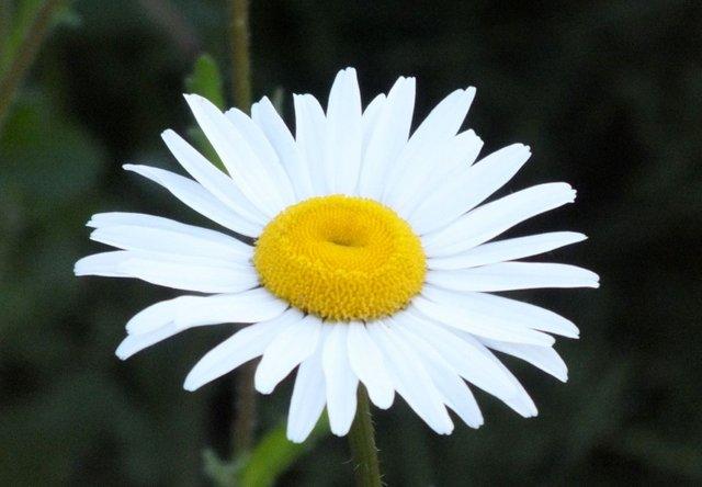0077-Daisy.jpg