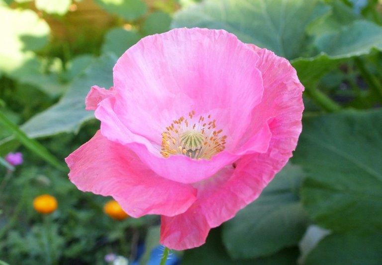 0111-PinkPoppy.jpg