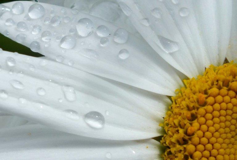 0329-Daisy.jpg