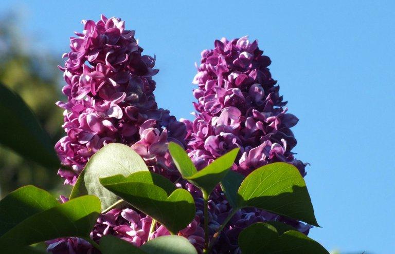 0256-LilacsSun.jpg