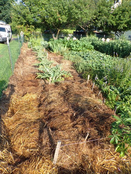 Big garden  SE bulb area mulched crop July 2020.jpg