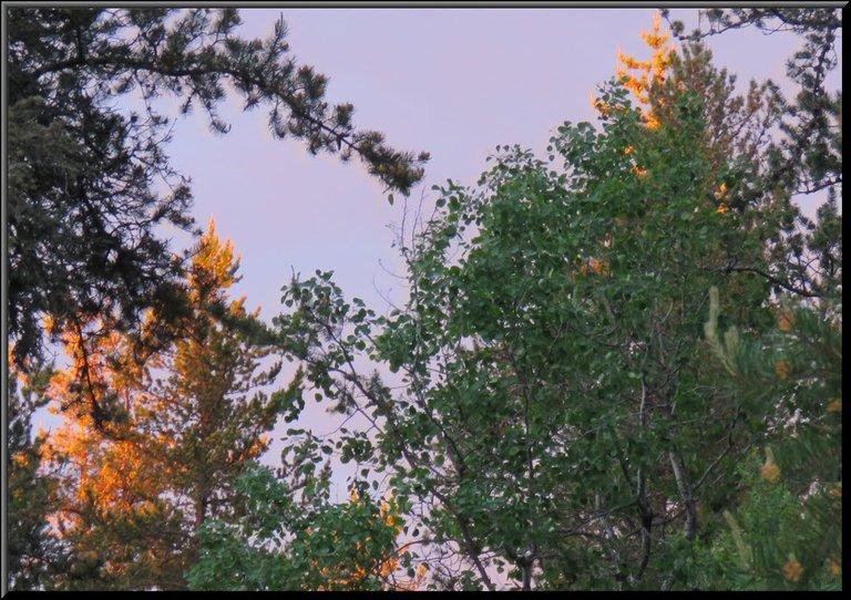 purply pink in sky gold on tree tops behind evergreens.JPG
