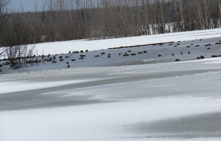 overview of icy scene with ducks on open part of pond.JPG