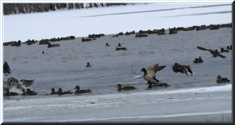duck flying in among other ducks swimming in icy water.JPG