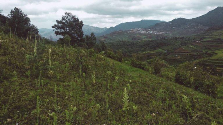 mullein field.jpg