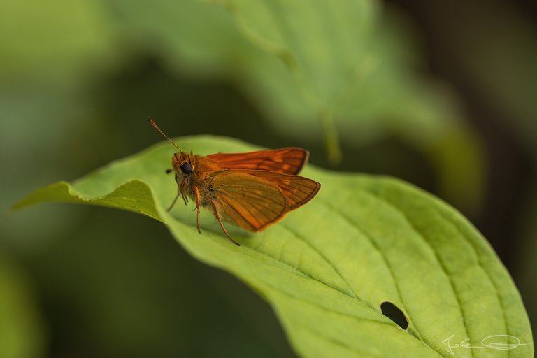 Hive AlphabetHunt Ochlodes Sylvanus - Large Skipper