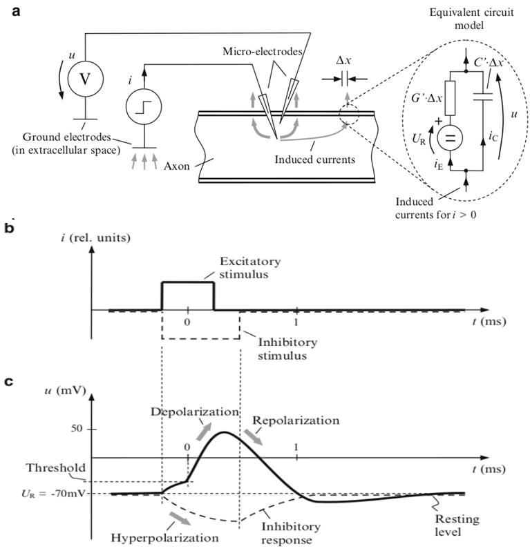 Illustration of stimulated axon cell