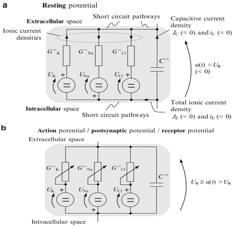 Equivalent circuit of resting and action potential