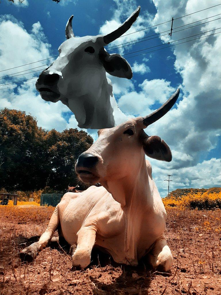 cabeza de vaca 5.jpg