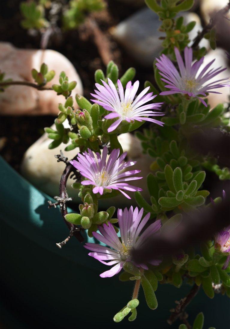 Drosanthemum flowers 6.jpg