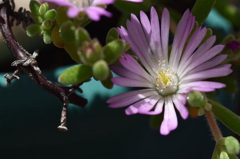 Drosanthemum flowers 5.jpg