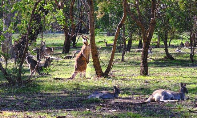 Woodlands Kangaroo.jpg