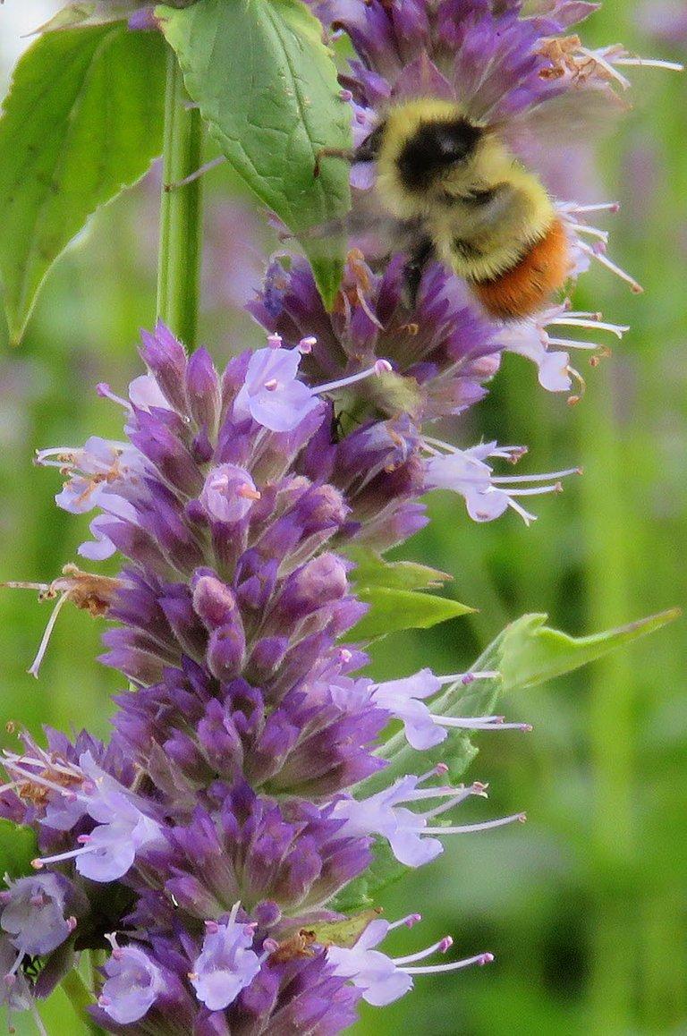 bee on hyssop bloom.JPG