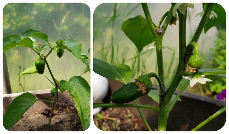 mini bell peppers.jpg