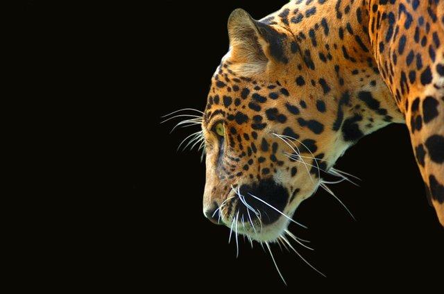 jaguar1623321.jpg