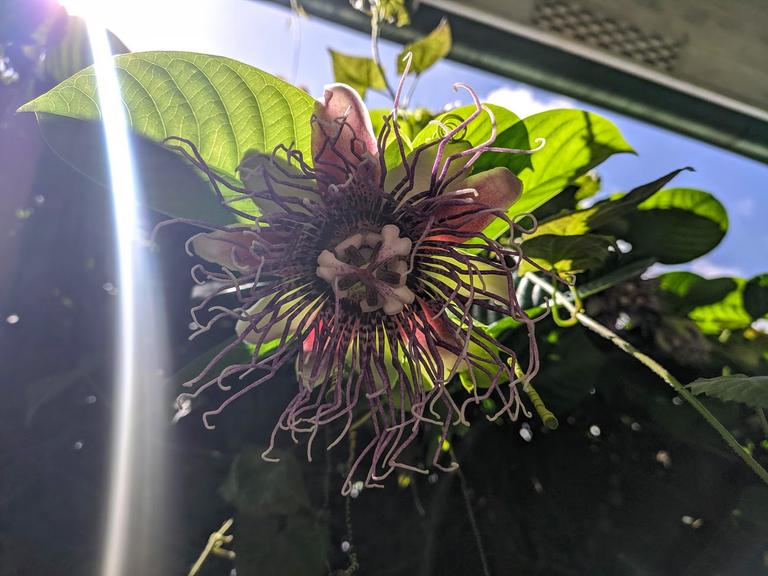 Giant Granadilla Flower