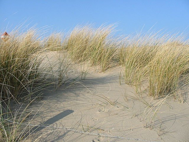 European marram grass  Dunes near The Hague, February