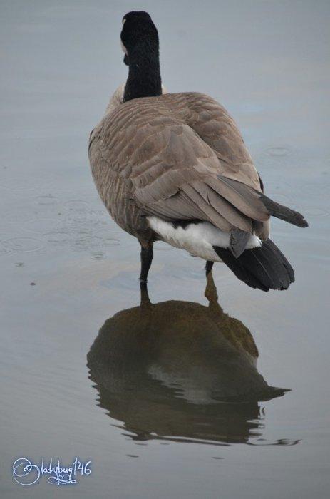 geese3 (1).jpg
