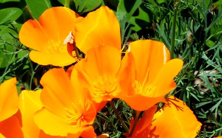 1072-Poppies.jpg