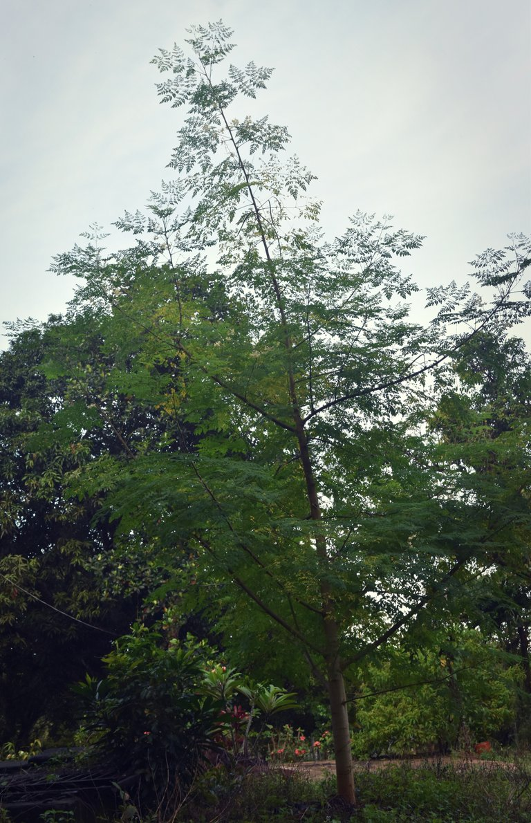 moringa-tree.jpg