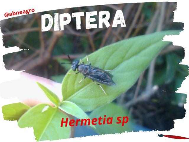 Diptera portada.png