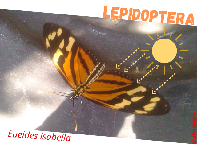 Lepidoptera sol.png