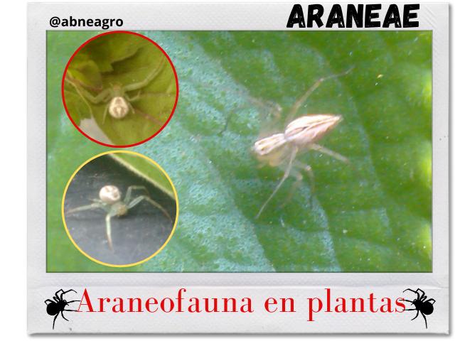 Araneae portada.png
