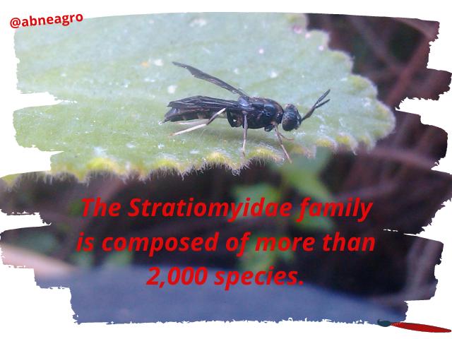 Diptera English.png