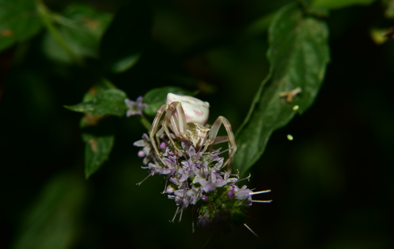 crab spider 3.png