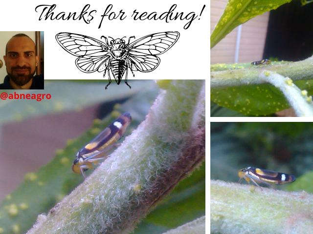 Hemiptera final.png