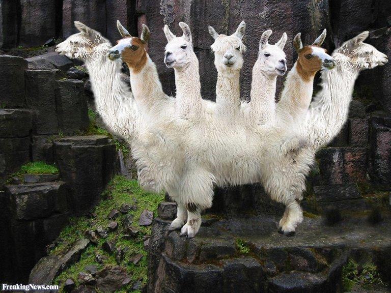 Llama-Goat-53208.jpg