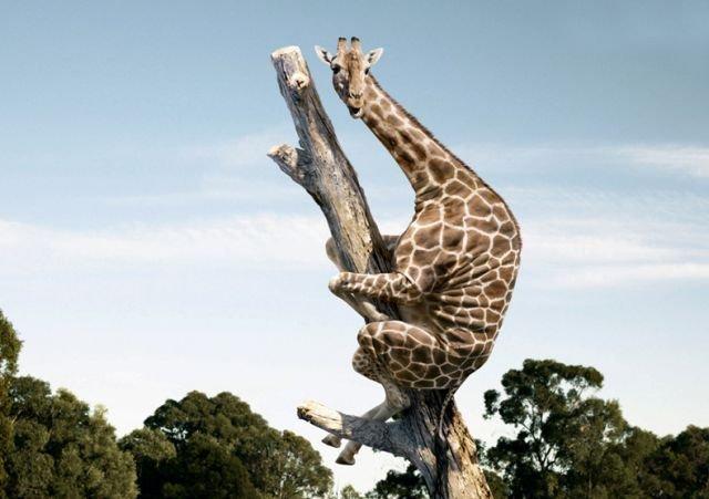funny_giraffe_25.jpg