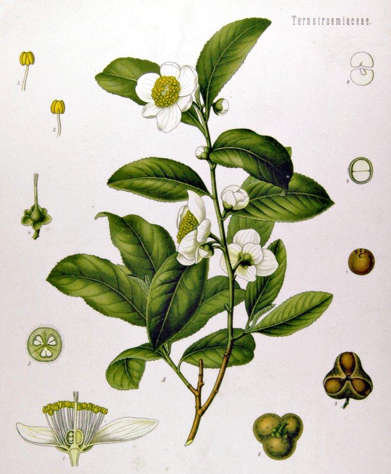 Camellia_sinensis_-_Köhler–s_Medizinal-Pflanzen-025.jpg
