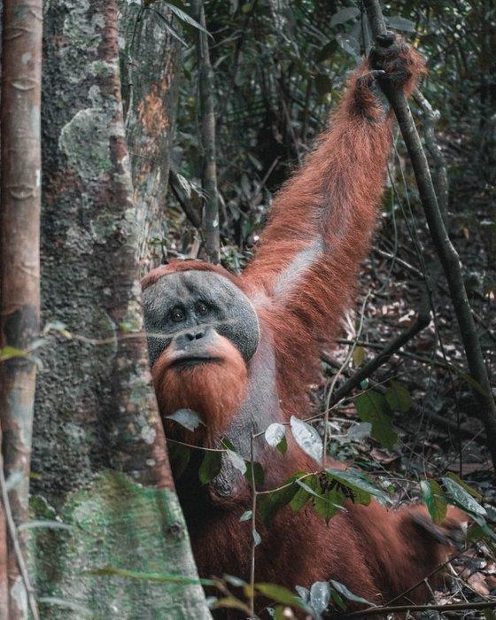 orangutans sumatra