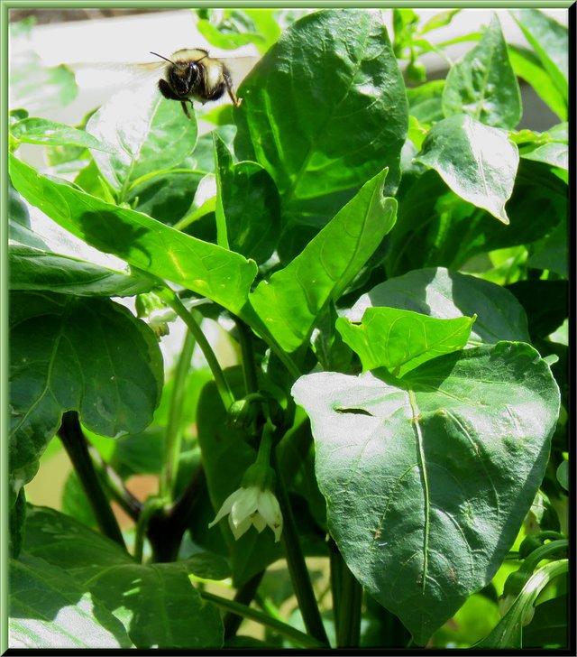 bee flying over flowering pepper plants.JPG