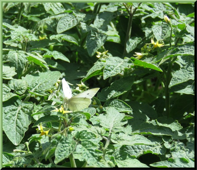 butterfly on blooming Tiny Tim Tomatoes.JPG