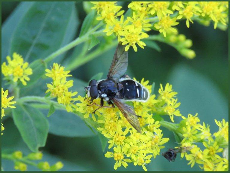 black and white pollinator on goldenrod.JPG