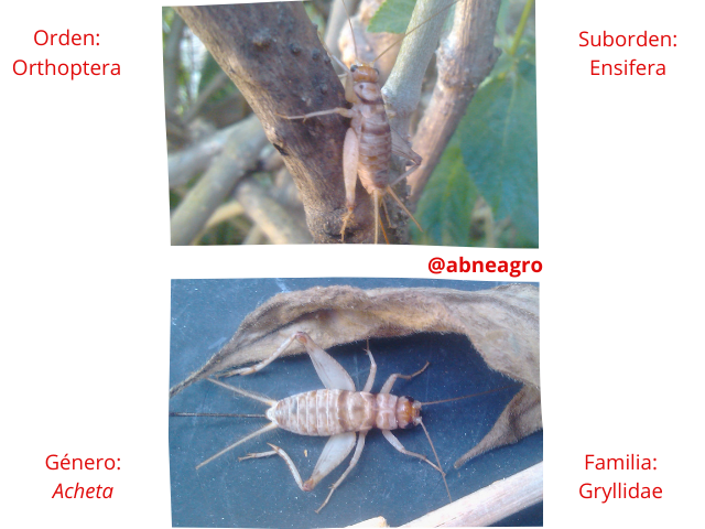 Orden Orthoptera Cripsis.png