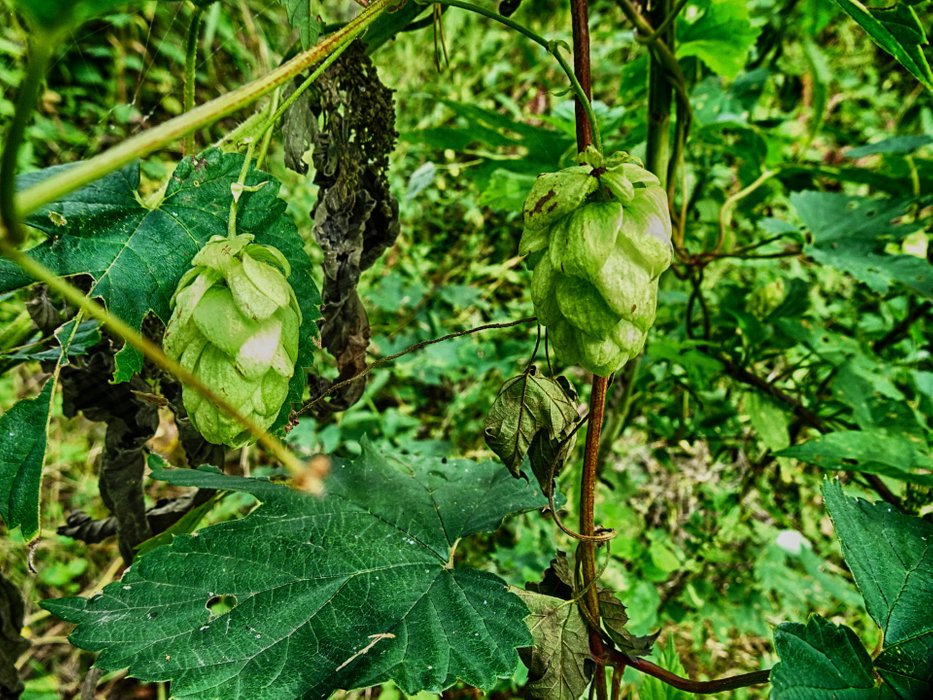 You can see wild hops growing everywhere