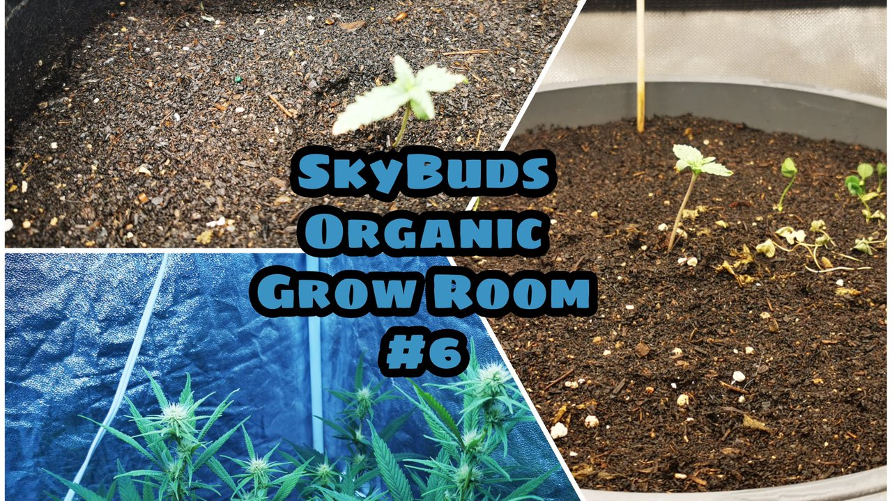 SkyBuds Organic Grow Room Series - Episode #6