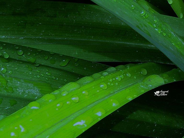 Pandan Leaves and Waterdrops.jpg