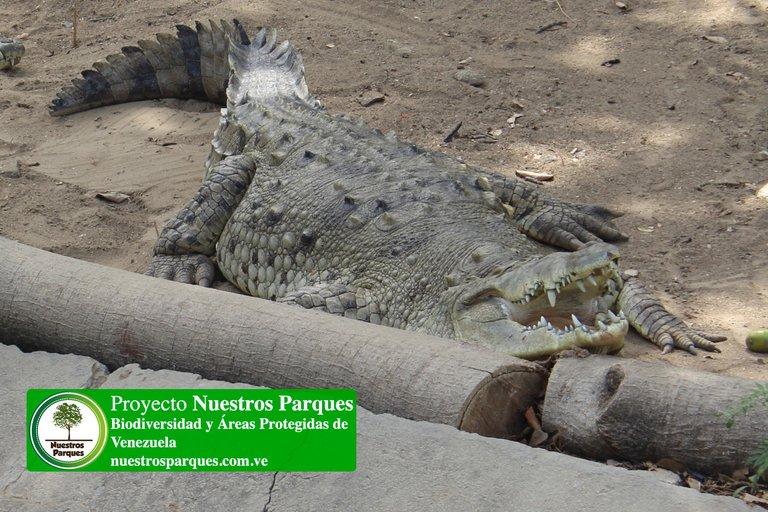 1 caimán de la costa.jpg