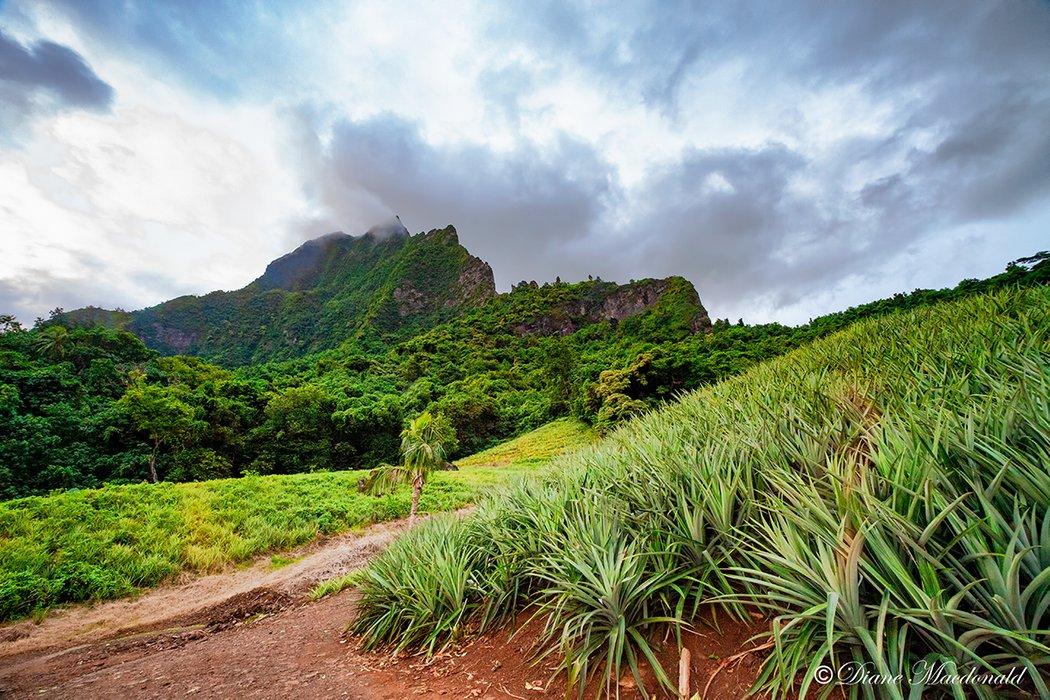 pineapple field and Mountain.jpg